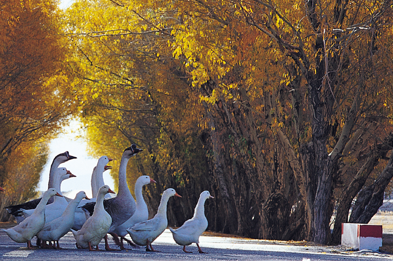 Become a YouTube star — a group of geese following each other